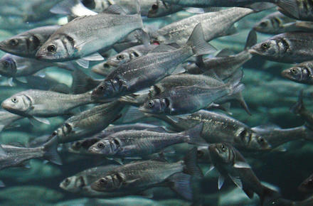 Mackerel school
